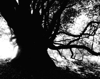 "tree art print / black white art nature photography /  forest woods landscape art print / black white large wall art / ""bay tree silhouette"""