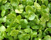 Miners Lettuce Heirloom Greens Seeds Wood Elf Greens Winter Purslane Indian Lettuce Non-GMO Naturally Grown Open Pollinated