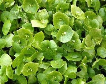 "Miners Lettuce ""Wood Elf Greens"" Heirloom Seeds Winter Purslane, Indian Lettuce Non GMO"