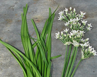 Garlic Chives Heirloom Herb Seeds Non GMO