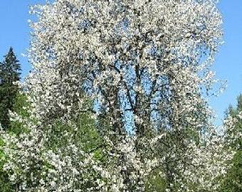 50 Sweet Cherry Tree Seeds, Prunus avium