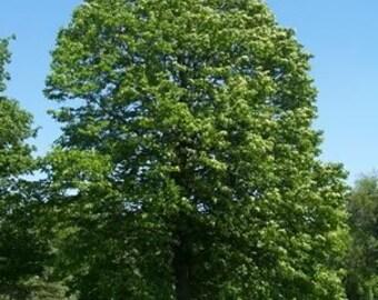 50 American Linden Tree Seeds, Tilia americana