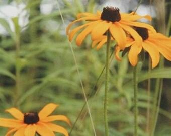 Tres Eyes, Black-Eyed Susans, Wildflower Series, Art Photography