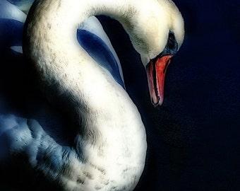 Grace is a photographic print of a swan in dark blue water.