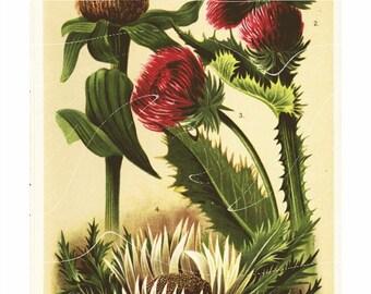 Original Antique Natural History Print Of Antique Alpen Flowers