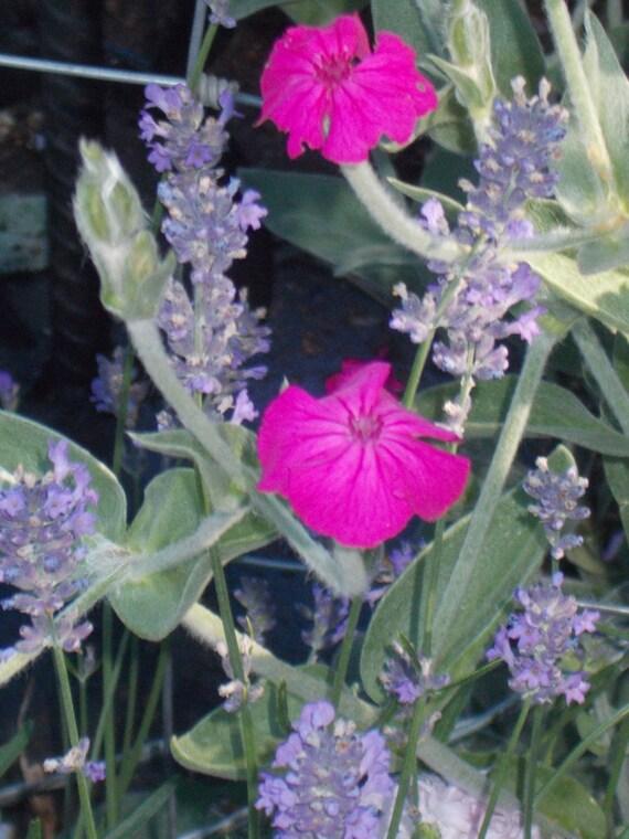 Rose Lychnis Old Fashioned Cottage Garden Flower Rose