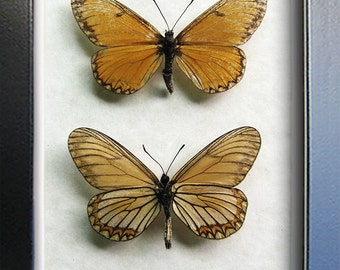 Set Of Yellow Coster Acraea Issoria Real Butterflies Framed In Shadowbox