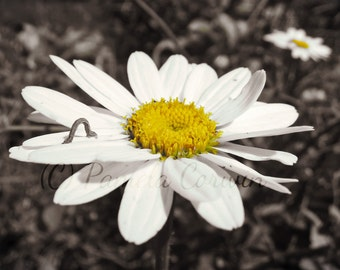 Flower art: Flower photo Daisy photo inchworm photo black white yellow photo art daisy art 8x10""