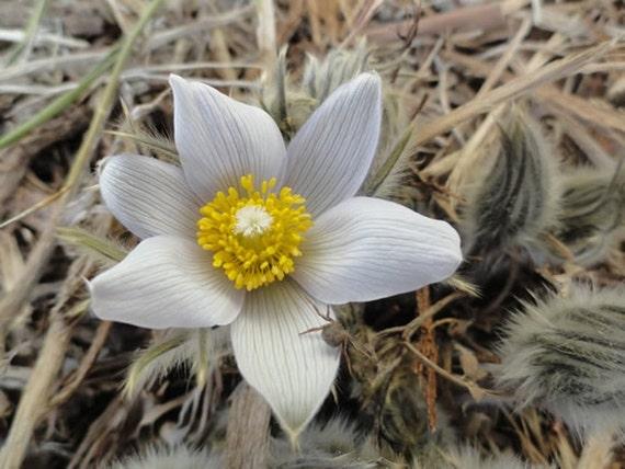 prairie crocus seeds anemone patens wolfgangiana pasque flower south dakota state flower