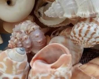 "1/2 Gallon - Large Mixed Seashells 1""-3"" each.  - Weddings, crafts and coastal home decorating"