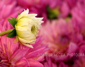 Photograph - White and Purple Pink Dahlia Flower Fine Art Photography Print Wall Art Home Decor