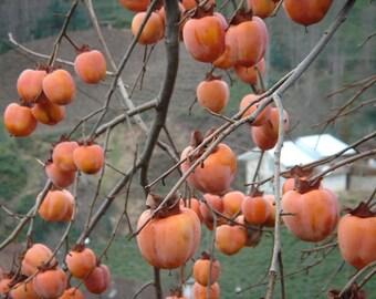 Diospyros kaki Seeds, Persimmon, Japanese Persimmon Seeds