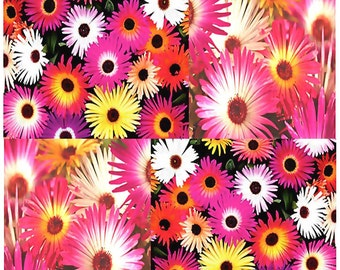 LIVINGSTONE DAISY Flower Seed - Mesembryanthemum - Ice Plant Flower Seeds - Very Showy ELECTRICFYING Daisy Like Flowers