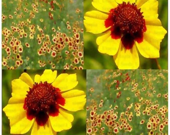 7,000 x Plains Coreopsis Seed - Coreopsis tinctoria - Flower Seeds - MAHOGANY CENTERS - Long Flowering Season with CLUSTERS Of Blooms