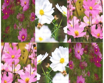 350 x Cosmos Sensation Mix - Cosmos bipinnatus Flower Seeds ~ LARGE FLOWERS - Colorful & Showy