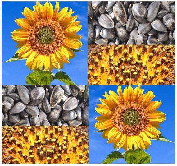 black sunflower seeds for deer peredovik sunflower seeds best for deer by allooaboutooseeds
