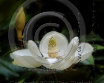 Magnolia Fine Art Print by donPuckett/