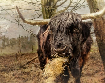 Black Scottish Highland cow