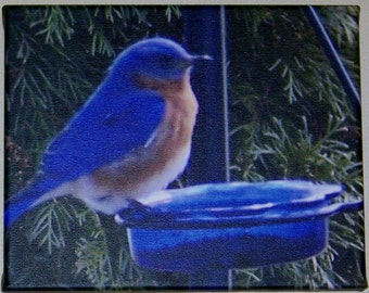 Bluebird on feeding dish print on canvas