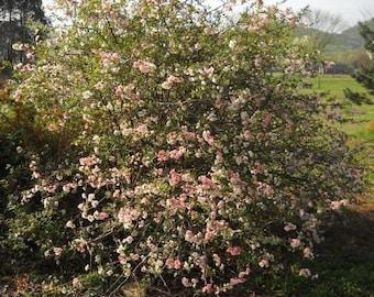 """Chaenomeles """"Toyo Nishiki"""" Flowering Quince 3 PLANTS!"""