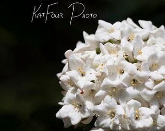 Photo Print, White and Green Flower Photograph, Laurustinus Viburnum Photograph, Viburnum tinus, Home Decor, Nature Photo, Fine Art Print