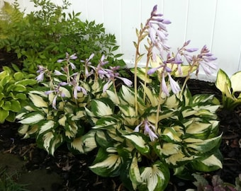 3 FIRE and ICE HOSTA Plantain Lily low growing Borders Edging Shade Garden bare root ~Very Fragrant