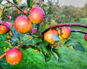 Cider Apples, Herefordshire - photographic print