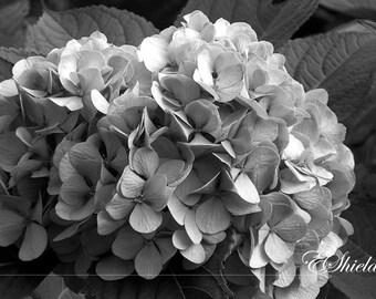 Black and White Hydrangea - SALE
