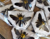 Carpenter Bees, Xylocopa confusa females from Java  Real Dried Insects