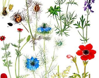 Flower Print - Winter Aconite, Violet Larkspur, Pheasant's Eye- 1988 Vintage Botanical Print p27