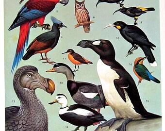 Bird Print - Extinct and Near Extinct Birds - 1970 Vintage Book Plate 7.5 x 10.5