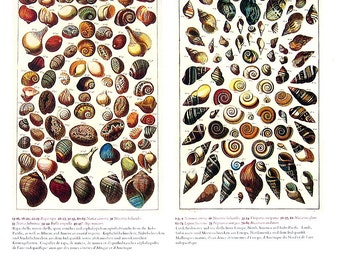 Rapa Shells, Conches, Sea Shells, Land Shells, Freshwater Sea Shells - Seba Book Print - Cabinet of Natural Curiosities - 13 x 9