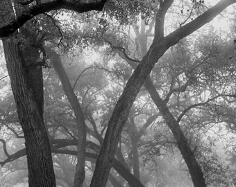 The Oak's Ballet Black and White Landscape Fine Art Photography Dramatic Dreamy Romantic home decor Foggy Misty woodland glade Magic mystic