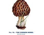 Common Morel, Mushroom, Reproduction Mycology Print, 1926 Edible Fungus Fig.16,  Natural History, Giclee Archival Print, Library Decor