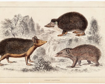 1840 Antique Porcupine print, hedgehog