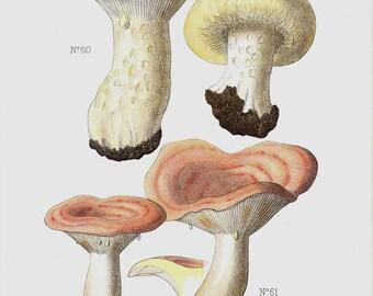 1901 Antique MUSHROOMS print, poisonousmushrooms, setae, fungi, wild mushrooms