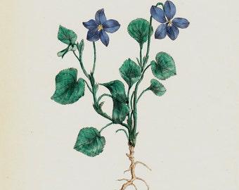 1863 Beautiful antique FLOWER print, handcolored Dog Violet. Original antique botanical print of wild flowers