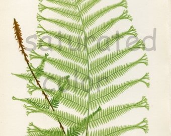 Antique Fern Chromolithograph ORIGINAL Book Plate - Green Fern Frond - Antique 1880 Edward Lowe Fern - No. 36 - Chartreuse Feathery Mountain