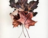 Nature Photography: Maple leaf autumn decoration, brown rustic decor, fall leaf