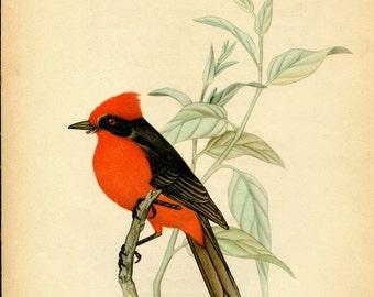 1942 Vintage Bird Print, Vermilion Flycatcher, Ornithology Illustration, Passerine Bird