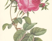 vintage botanical print by Pierre Redoute, pink roses, shabby chic home decor.