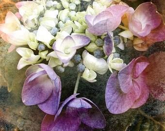 Photography, Nature Photograhy, Floral, Hydrangea Photo, Shabby Chic, 8x8 Flower Print