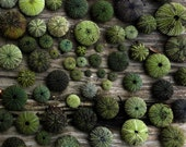 Sea Urchins, seashore, photography, spheres, nubby, green, ocean, texture, sea, Aegean, island, shades of green, wood, nature, Lesvos Greece