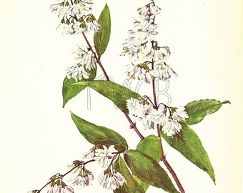 Botanical Print, Plant Print, Flower Print, Art Print, Home Decor, Book Plate, Botanicals, Wall Decor, Deutzia, White, A-18