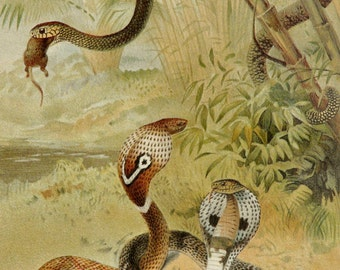 1894 Antique print of COBRA SNAKES. Cobras. Venomous Snakes. 122 years old gorgous lithograph.
