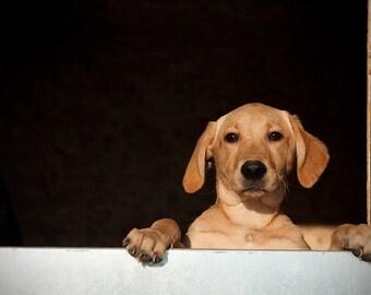 Dog photograph, golden labrador photo, dog wall art, gift for dog lover, 10x8, 12x8, 11x14, 12x18