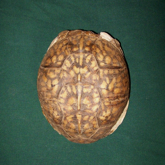 real turtle shell tortoise shell turtle shell jewelry