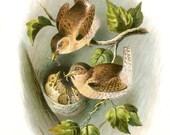 Vintage Image - Pair of WRENS feeding BABIES in NEST - Digital Instant Download - nature ephemera collage supply