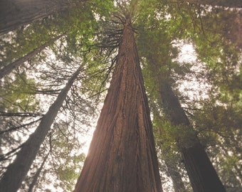 Tree Photography, Redwoods Tree, Woodland Art, Forest Photo, California Park, Woodland Photo, California Redwood, Northern Pacific Coast