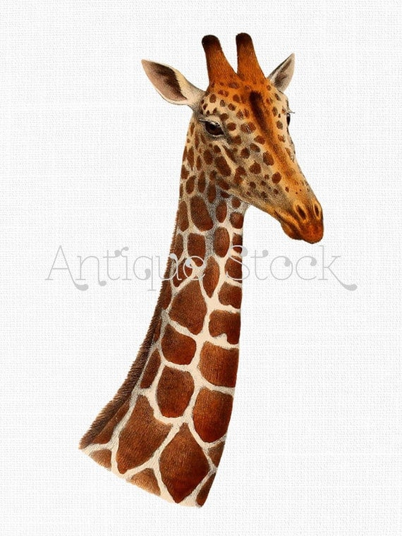 Drawing Of A Giraffe Head And Neck | www.imgkid.com - The ...